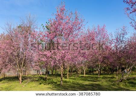 Cherry Blossom Path through a Beautiful Landscape Garden - stock photo