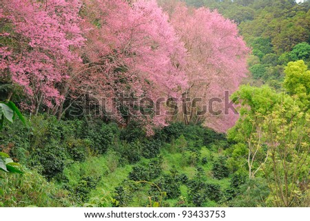 Cherry Blossom Pathway in a Beautiful Landscape Garden Chiangmai Thailand - stock photo