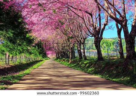 Cherry Blossom Pathway in ChiangMai, Thailand - stock photo
