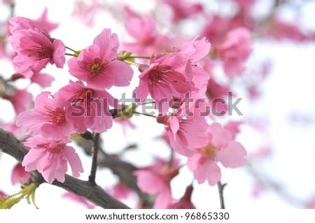 Cherry blossom , pink sakura - stock photo