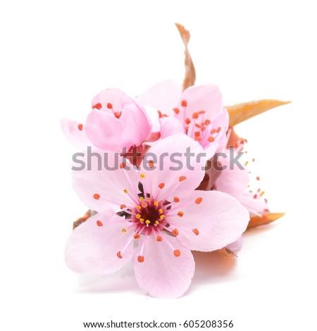 Cherry blossom pink sakura flower isolated stock photo edit now cherry blossom pink sakura flower isolated in white background mightylinksfo