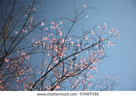 Cherry blossom , pink sakura flower on blue sky