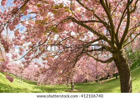 Cherry blossom (Prunus, Lithocerasus) in the park of Sceaux, Paris, France (Fish- eye lens)