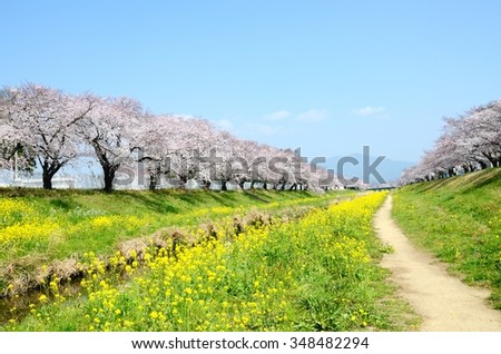 Cherry blossom & rapeseed blossom under blue sky - stock photo