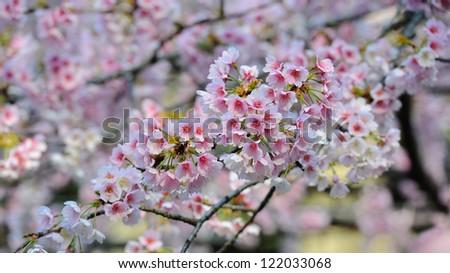 Cherry Blossom (Sakura) - stock photo