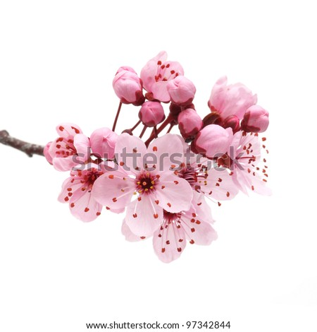 Cherry blossom, sakura flowers isolated on white background - stock photo