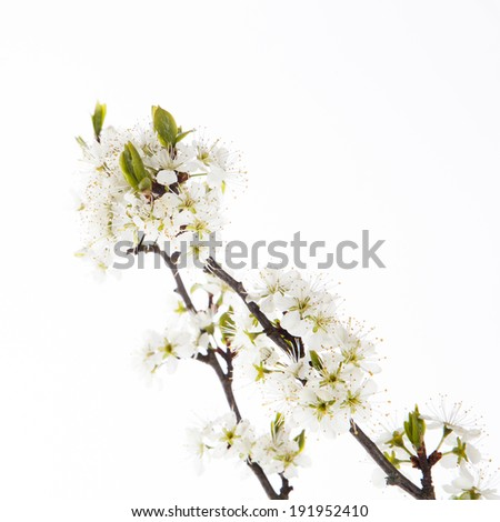 Cherry blossom, sakura flowers  on white background
