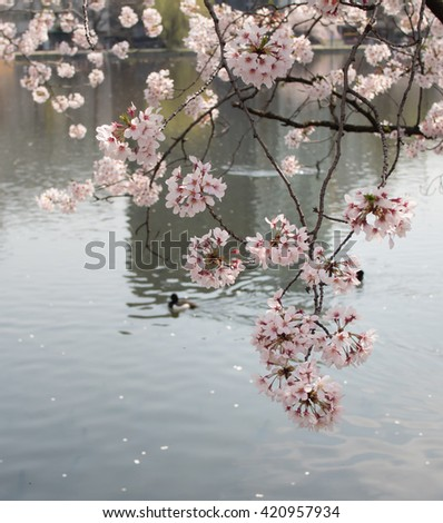 Cherry blossom sakura flowers reflecting in water. And a duck swimming in water - Japan