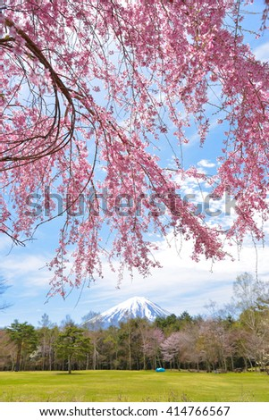 Cherry blossom sakura garden with Mountain Fuji background