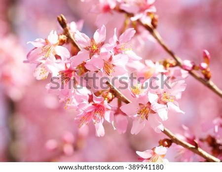 beautiful pink flowers beautiful blossom tree nature scene sun stock photo 588482816