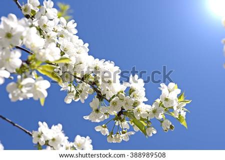 cherry blossom spring - stock photo
