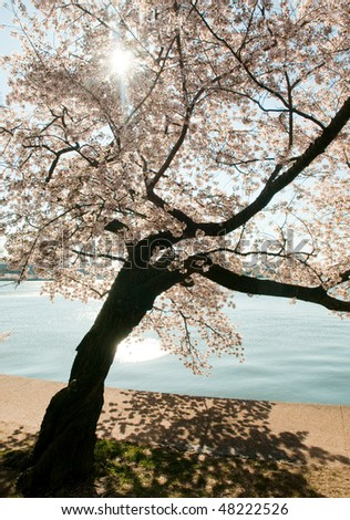 Cherry Blossom trees around the Tidal Basin during the National Cherry Blossom Festival