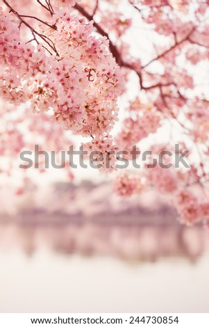 Cherry blossom trees in bloom in the springtime in Washington DC with vintage colorized effect - stock photo
