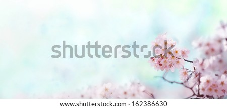 Cherry blossom with soft pastel blue background. Title header dimension image.   - stock photo