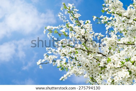 Cherry blossoms and blue sky in spring day - stock photo