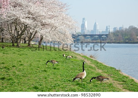 Cherry Blossoms and Canada Geese in Philadelphia along Schuylkill River - stock photo