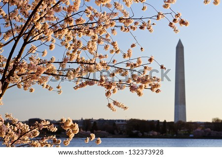 Cherry Blossoms and The Washington Monument - stock photo