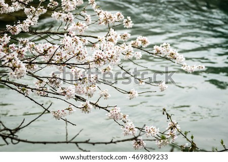 Cherry blossoms and water