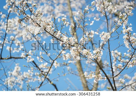 Cherry blossoms at the Kiyomizu-dera ,kyoto japan - stock photo