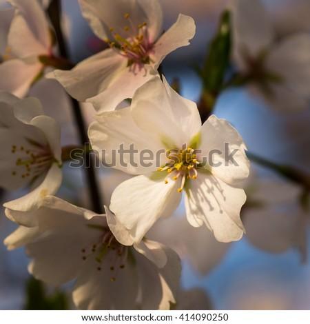 Cherry blossoms at the National Cherry Blossom Festival, at Tidal Basin, in Potomac Park, Washington, DC. - stock photo