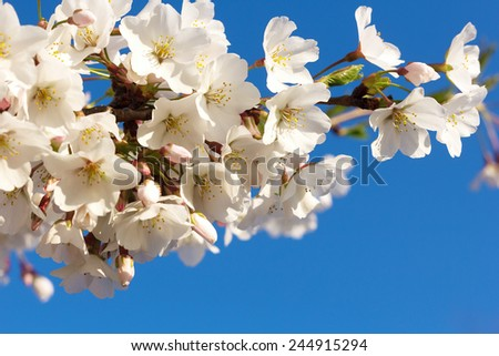 Cherry blossoms branch at close up on a blue sky background. Beautiful cheery flower at full blossom against a blue sky.