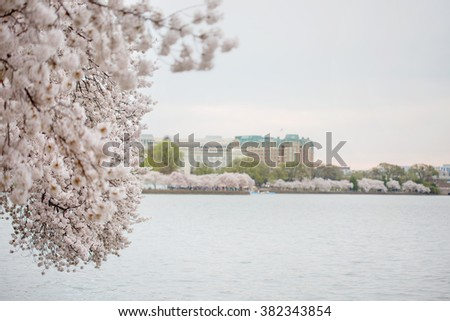 Cherry blossoms flowers in bloom in Washington DC, spring theme with copyspace - stock photo