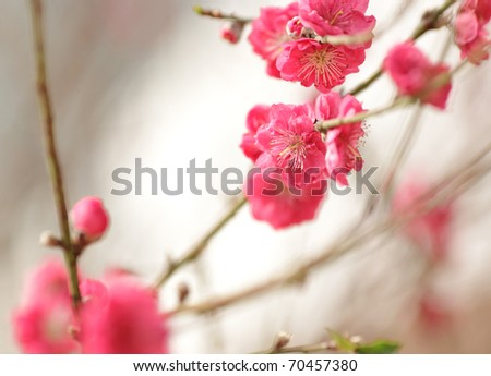 cherry blossoms for chinese new year - stock photo