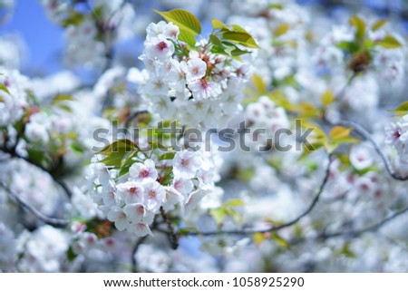 https://thumb1.shutterstock.com/display_pic_with_logo/167494286/1058925290/stock-photo-cherry-blossoms-in-a-japanese-garden-1058925290.jpg
