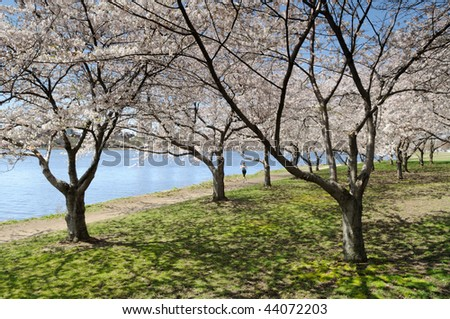 Cherry blossoms in early spring. People jogging along Charles River, Cambridge, Massachusetts - stock photo