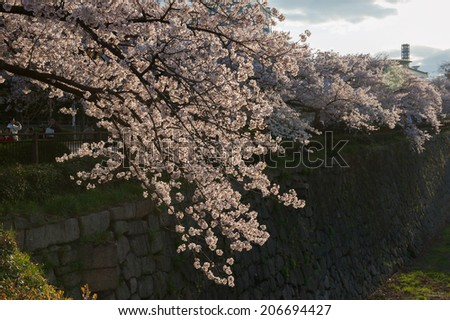 Cherry Blossoms in Osaka Castle Moat