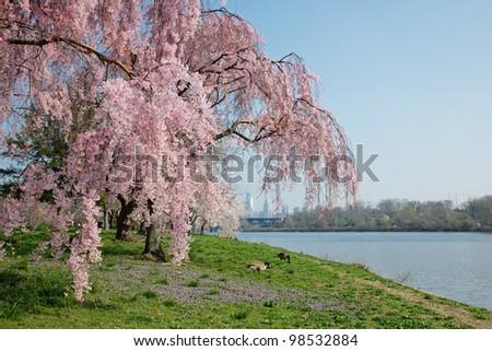 Cherry Blossoms in Philadelphia along Schuylkill River - stock photo