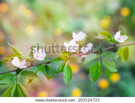 cherry blossoms in spring, beauty and freshness in soft focus