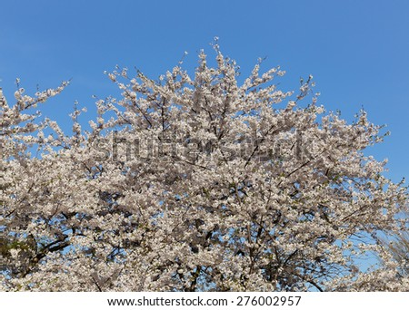 Cherry blossoms in the spring with copy space above the tree