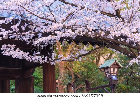Cherry blossoms in the twilight at the Yasukuni Shrine in Tokyo - stock photo