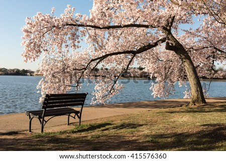 Cherry Blossoms in Washington DC - stock photo