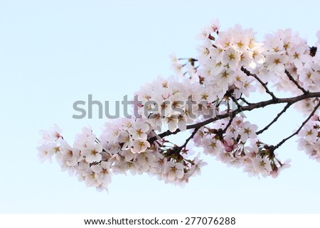 cherry blossoms on a branch, blue sky background