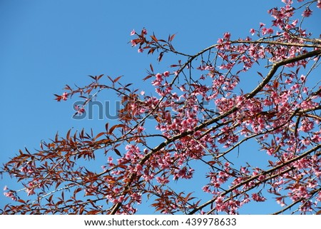 Cherry blossoms on blue sky background, beautiful pink flowers and blooming in the winter
