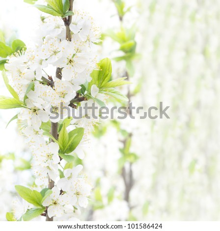 Cherry blossoms on the abstract blurred background - stock photo