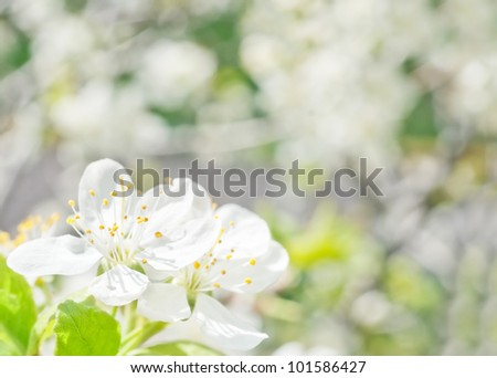Cherry blossoms on the abstract blurred background