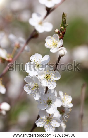 Cherry blossoms on the branches at sunny day, background. Selective focus, some flowers in focus, some are not  - stock photo