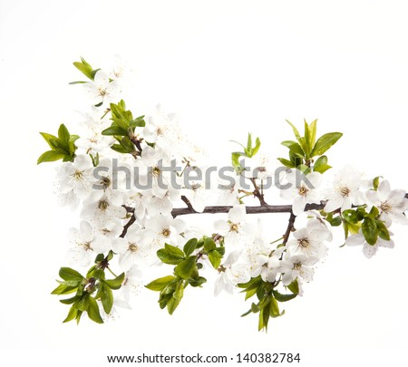 Cherry blossoms on the white background