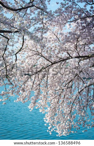 Cherry Blossoms over the Tidal Basin