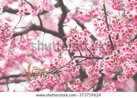cherry blossoms, pink flowers vintage tone - stock photo