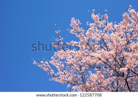 Cherry Blossoms SAKURA - stock photo