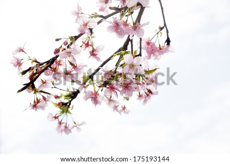 Cherry blossoms (sakura) with blue sky