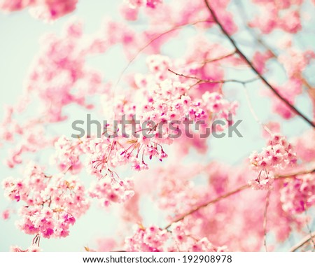 Cherry Blossoms, Vintage - stock photo