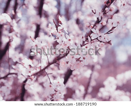 cherry blossoms. vintage painting look - stock photo