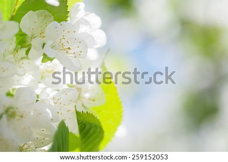 Cherry blossoms with green leaves on a soft blurred background