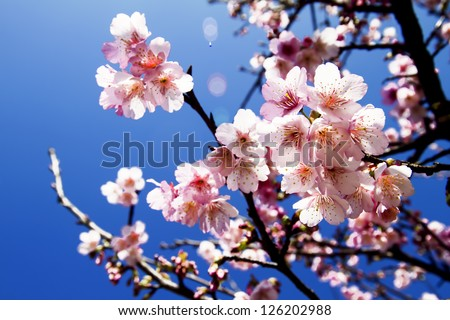 Cherry blossoms with nice background color for adv or others purpose use - stock photo