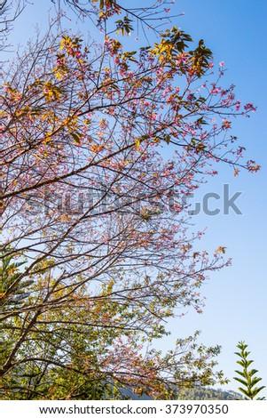 Cherry Blossum Park at Chiangmai Province, Thailand - stock photo